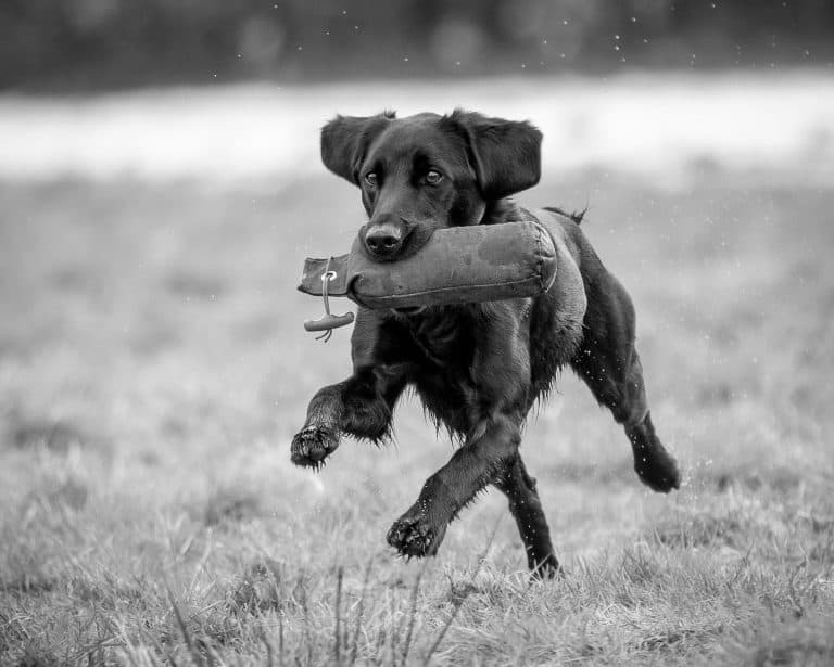 gun dog training dorset