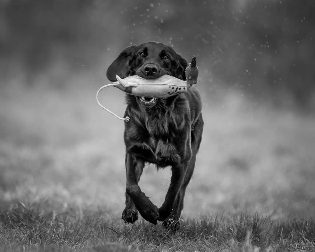 Pet gun dog training