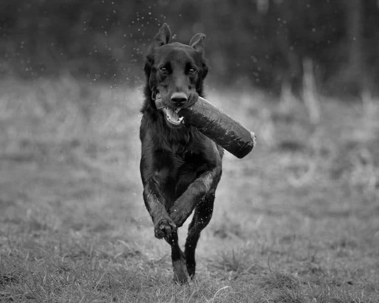 The gun dog and prey drive