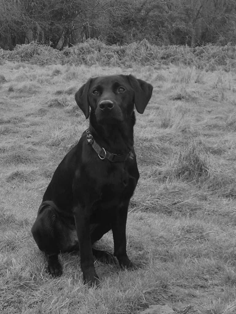 pet Labrador training